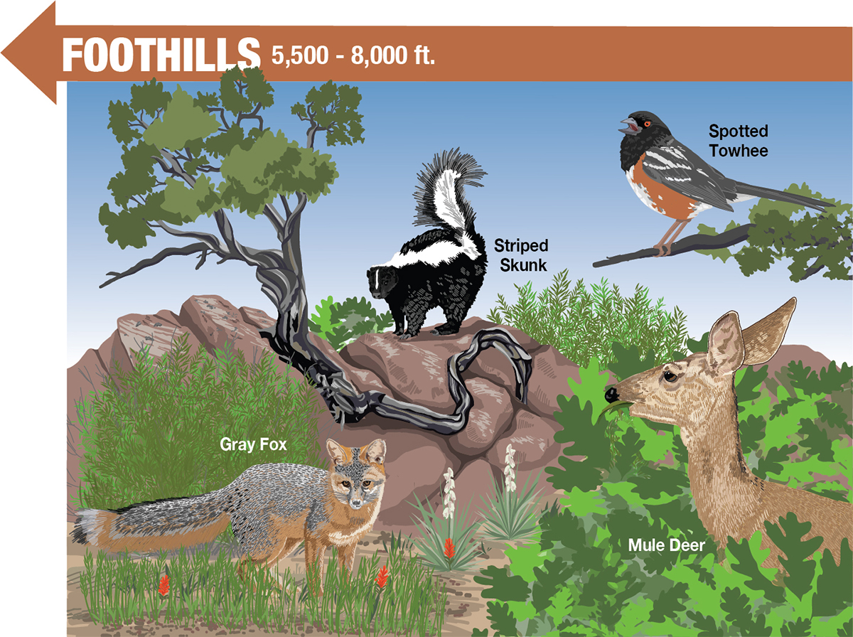 Interpretive Sign Drawing - Foothills