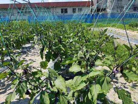 210721ナス、ピーマン収穫、きゅうりネット張り、トマト収穫、スイートコーンは種