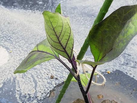 ナス定植、スイートコーン追肥、カボチャ管理、サツマイモ定植、キュウリ定植準備、落花生は種
