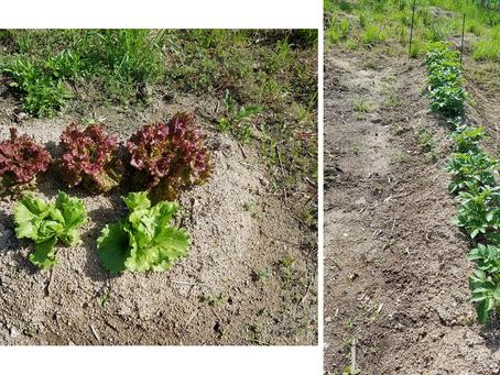 草刈り、メロンの整枝、キュウリ定植、レタス収穫、落花生の元肥散布