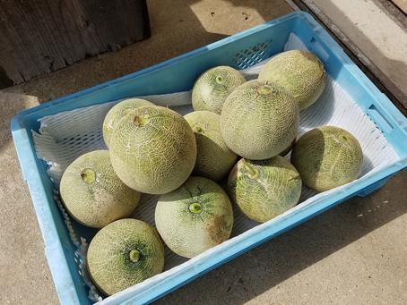 ナスの収穫と整枝、ピーマン・きゅうり・オクラの収穫、メロンマット回収と収穫、かぼちゃ3本仕立ててマット引き、トマトの収穫と防除