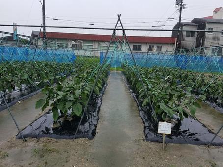 ナス、キュウリ収穫切り戻し、スイートコーン収穫、ミニトマトトマトトーン散布