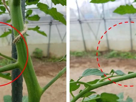 ミニトマトの管理、エダマメの播種、DVDで害虫の勉強