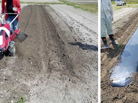 オクラ・サツマイモの畝立てマルチ、落花生・スイートコーンの土壌改良、メロンの脇芽かき