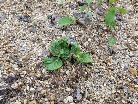 ジャガイモが発芽してきました。