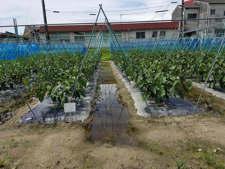 ナス、ピーマンの収穫、メロンの片づけ、ミニトマトの収穫と寒冷紗での日よけづくり、スイートコーンの収穫と片付け