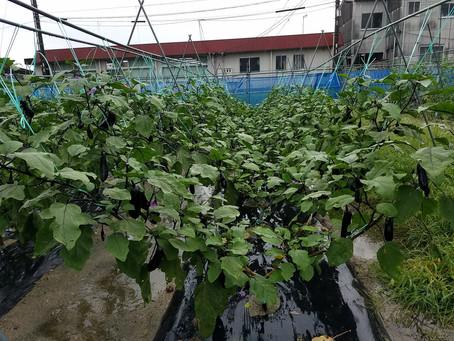 夏野菜とエダマメ収穫、ニンジンとスイートコーン土寄せ、秋冬野菜土壌改良、ブロッコリー、玉レタスは種