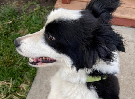 Calming a Nervous Border Collie and Snippy Cats