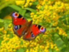 European Peacock butterfly (Inachis io) on a yellow flower