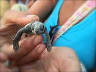Turtle release here in sayulita