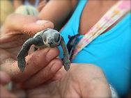 Turtle release here in sayulita