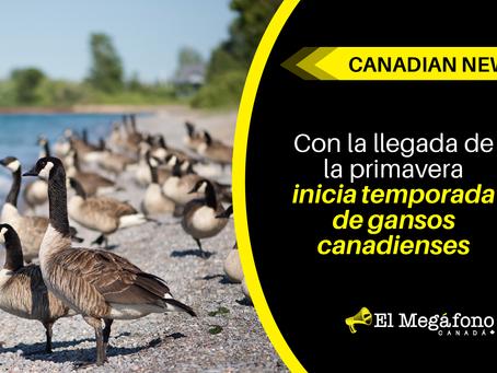 Con la llegada de la primavera, inicia temporada de gansos canadienses