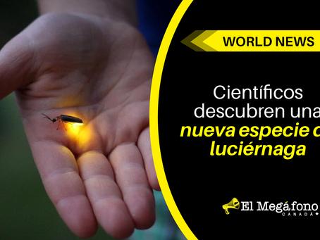 Científicos descubren una nueva especie de luciérnaga