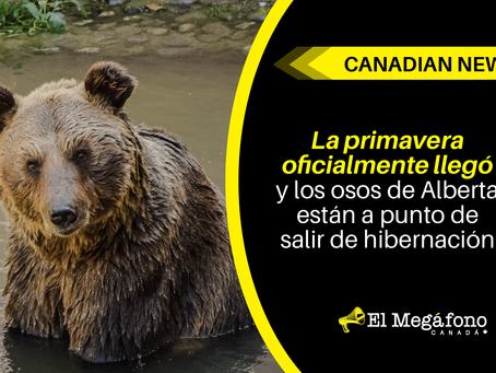 La primavera oficialmente llegó y los osos de Alberta están a punto de salir de hibernación