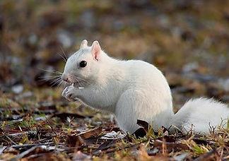 white-squirrel_edited.jpg