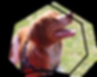icone réeducation canine avec epagneul breton sur herbe pour sweetdog
