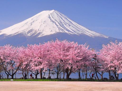 Sakura Extract-P - Chiết xuất hoa anh đào Nhật Bản