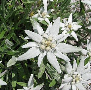 edelweiss Cullse Extract.jpg
