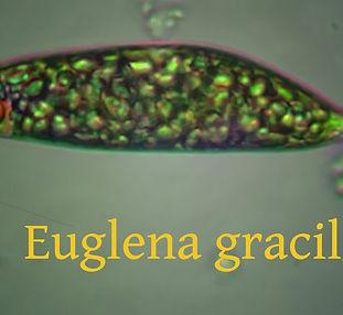 Euglena gracilis.jpg