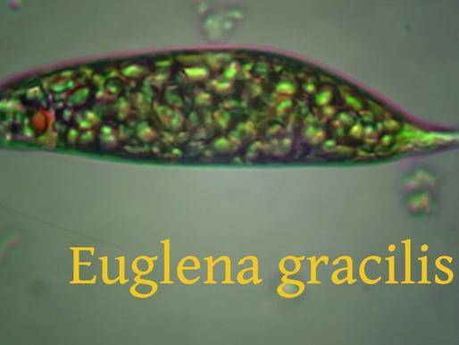 Bioglena™ - β-glucans từ Euglena gracilis - Cân bằng hệ miễn dịch