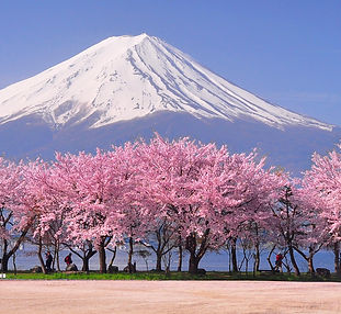 Cherry-Blossom-japan.jpg