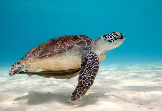 animaux-tortue-verte-fiche-reptile-ocean