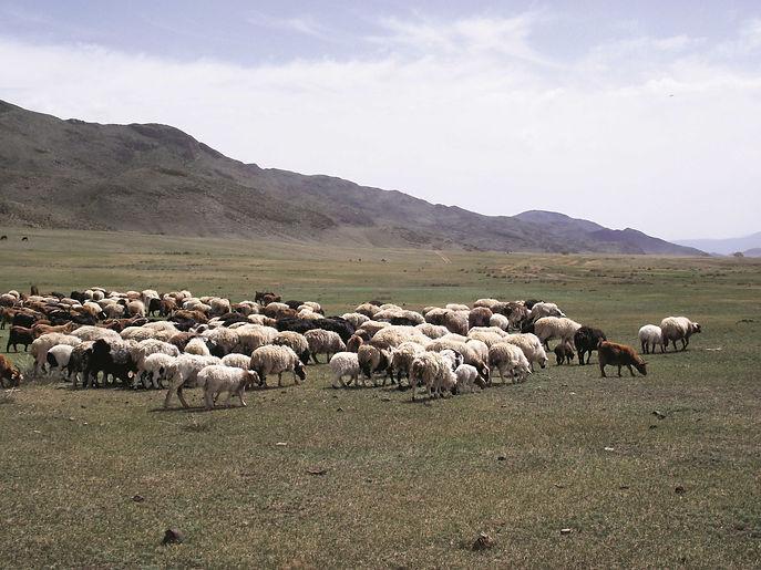 Mongolei-Schafe-Wollzeit.jpg