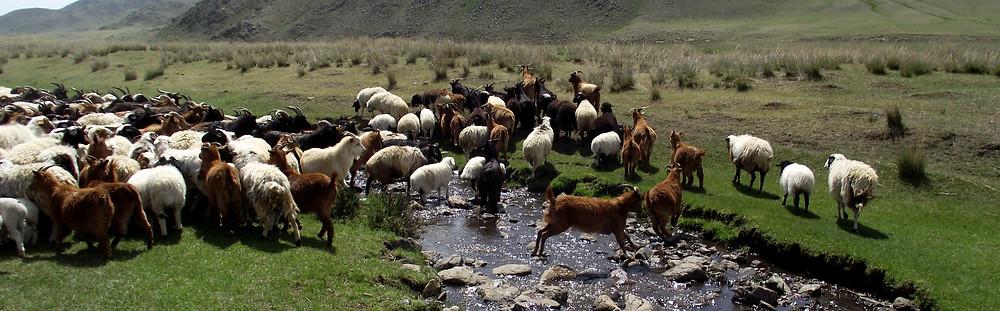 Schafe in der Mongolei