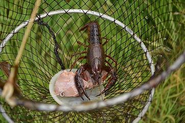 Pesca de cangrejo de río con retel