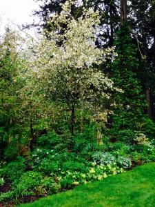 Amelanchier x grandiflora in spring