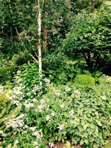 Betula jacquemontii and Astrantia