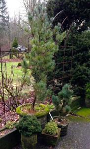 Pinus parviflora 'Ibo-Can'
