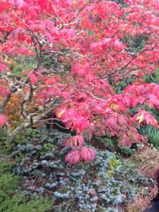Acer japonica Aconitifolium