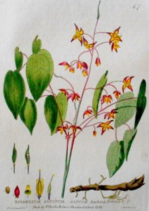 Epimedium Botanical Print
