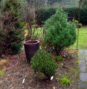 Dwarf Conifers in the garden
