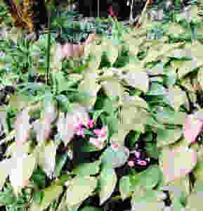 Eimedium x versicolor 'Cherry tart'