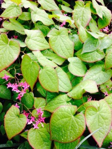 Epimedium grandiflorum 'Red Queen'