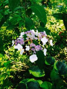 Hydrangea aspera bloom