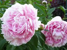 Paeoina lactiflora 'Sarah Bernhardt'