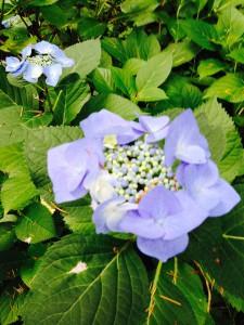 Hydrangea macrophylla - lacecap