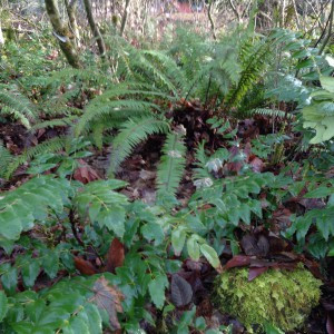 Sword ferns and Mahonia