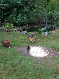 chickens by the duck pond
