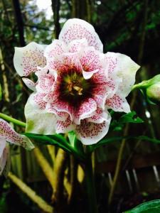 Helleborus x hybridus - double