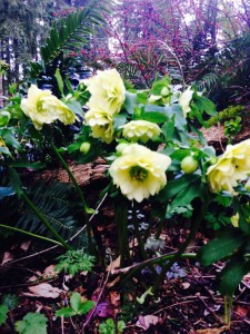 Helleborus x hybridus - yellow double