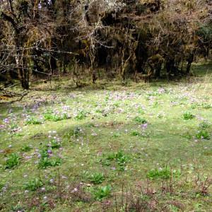 Field of Primula dentata