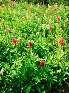 Castilleja parviflora var. oreopola - Magenta Paintbrush