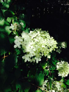 hydrangea paniculata bloom