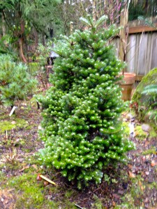 Abies koreana 'Silber Mavers'