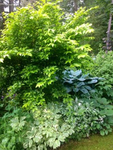 Yellow Lugustrum with yellow variegated Aralia