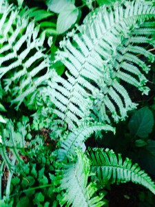 Dryopteris affinis 'Cristata The King'